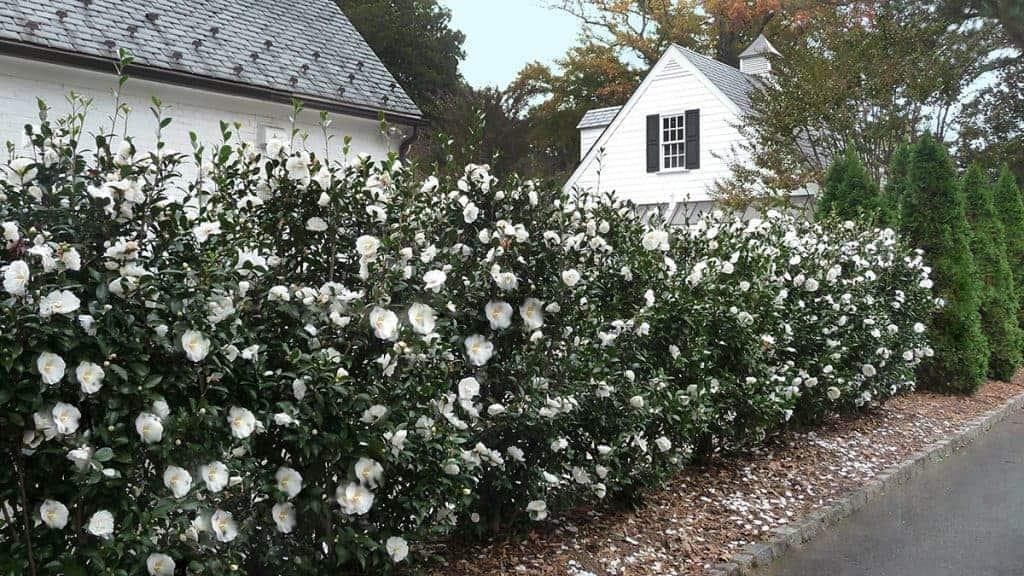 Screen Plants Camellia