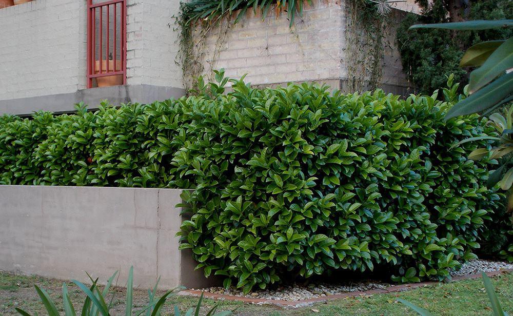 Screen Plants Viburnum