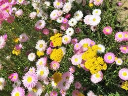 Everlasting daisies top tips for low maintenance landscaping for busy families